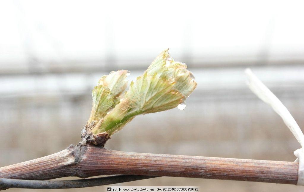 葡萄树 发芽 树木树叶 生物世界 摄影 72dpi jpg