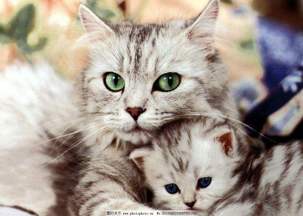 可爱的小猫 猫妈妈 小猫 拥抱 家禽家畜 生物世界 摄影 72dpi tif