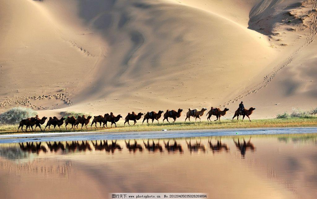 沙漠骆驼 骆驼 沙漠 一滩水