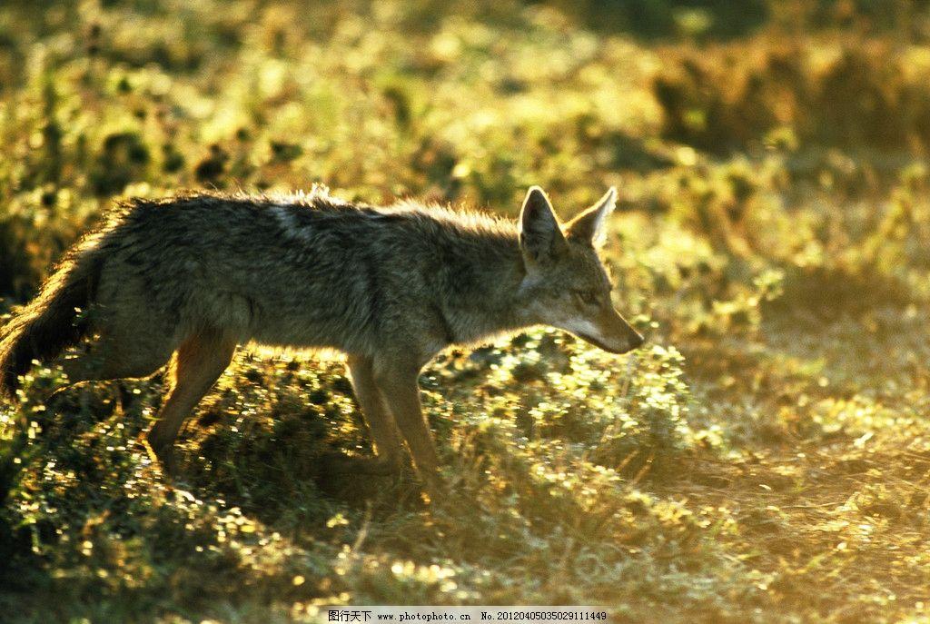 草原狼 野狼 森林狼 黄昏狼 野生动物 生物世界 摄影 300dpi jpg