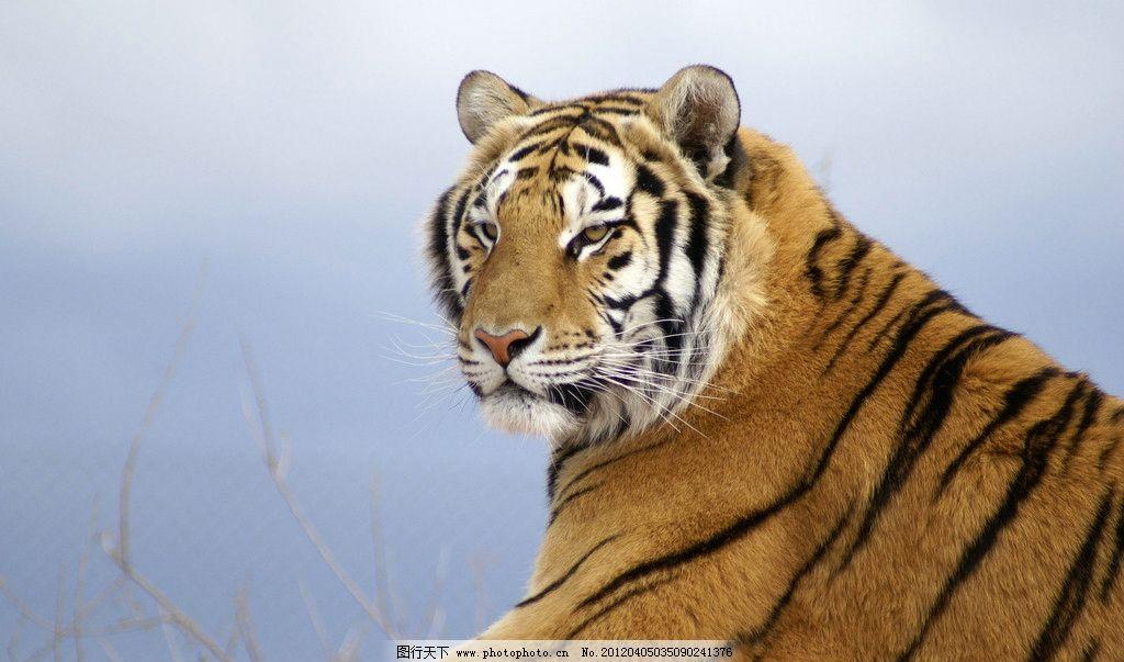 东北虎 老虎 野生东北虎 野生动物 生物世界 摄影