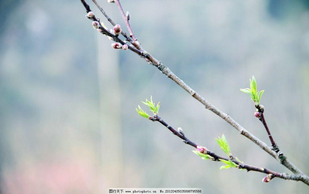 小村枝 树 树枝 芽 发芽 春天 树木树叶 生物世界 摄影 72dpi jpg