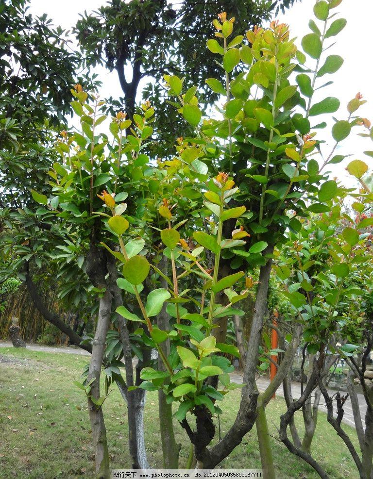 乔木新芽图片_树木树叶
