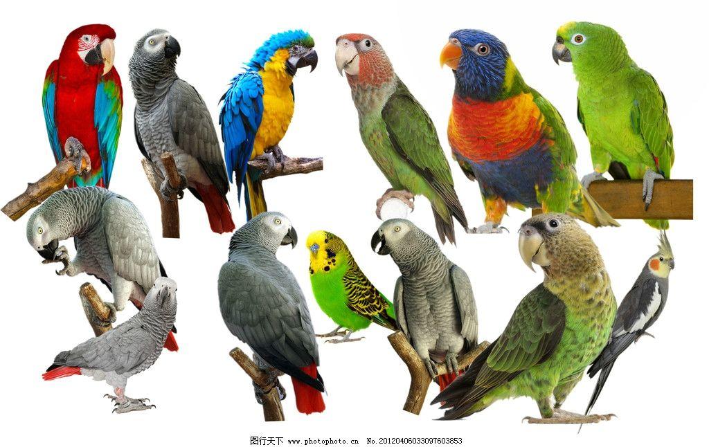 鹦鹉 小鸟 小动物 宠物