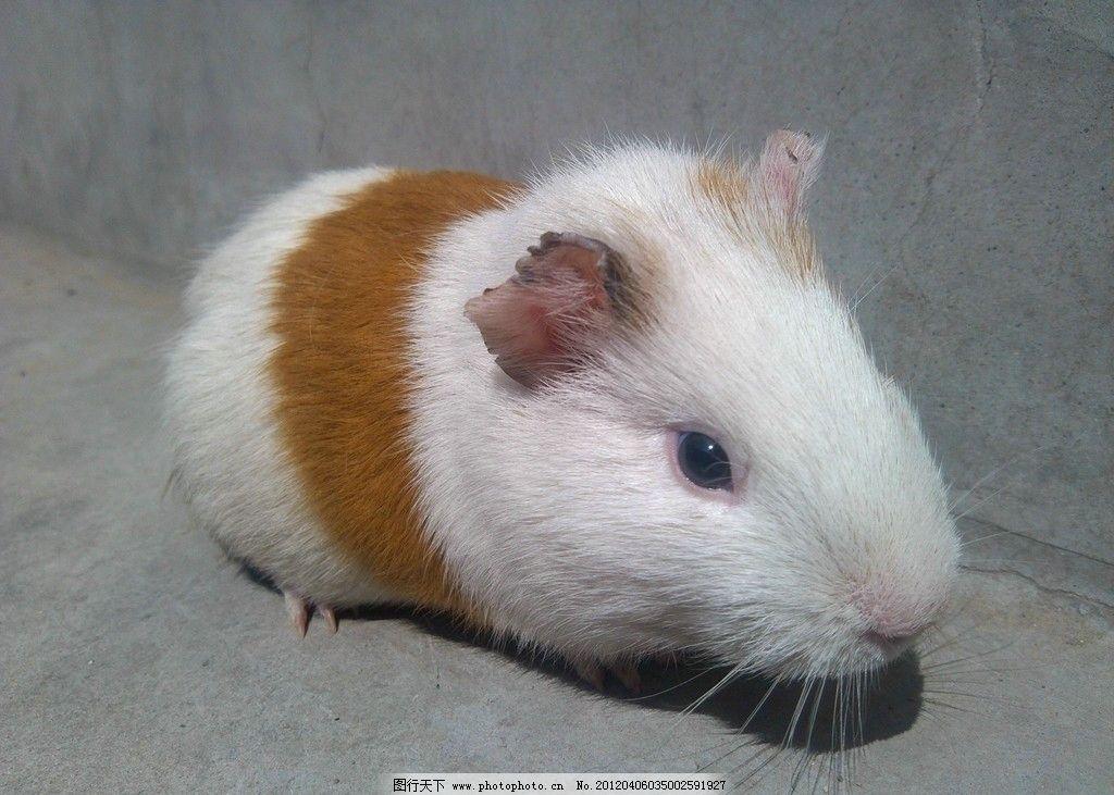 荷兰猪 可爱 豚鼠 野生动物 生物世界 摄影 72dpi jpg