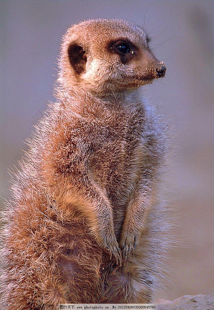 猫鼬 狐蒙 野生 珍贵 保护 动物 摄影
