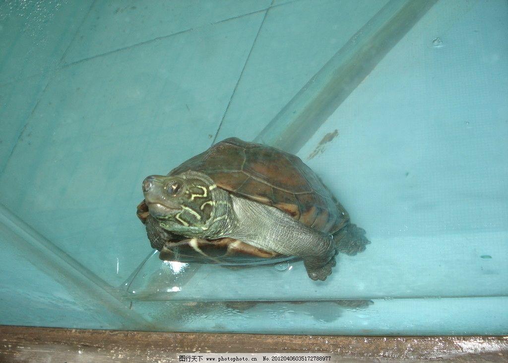 乌龟 水族管 水底 水产 爬行动物 海洋生物 生物世界 摄影 72dpi jpg