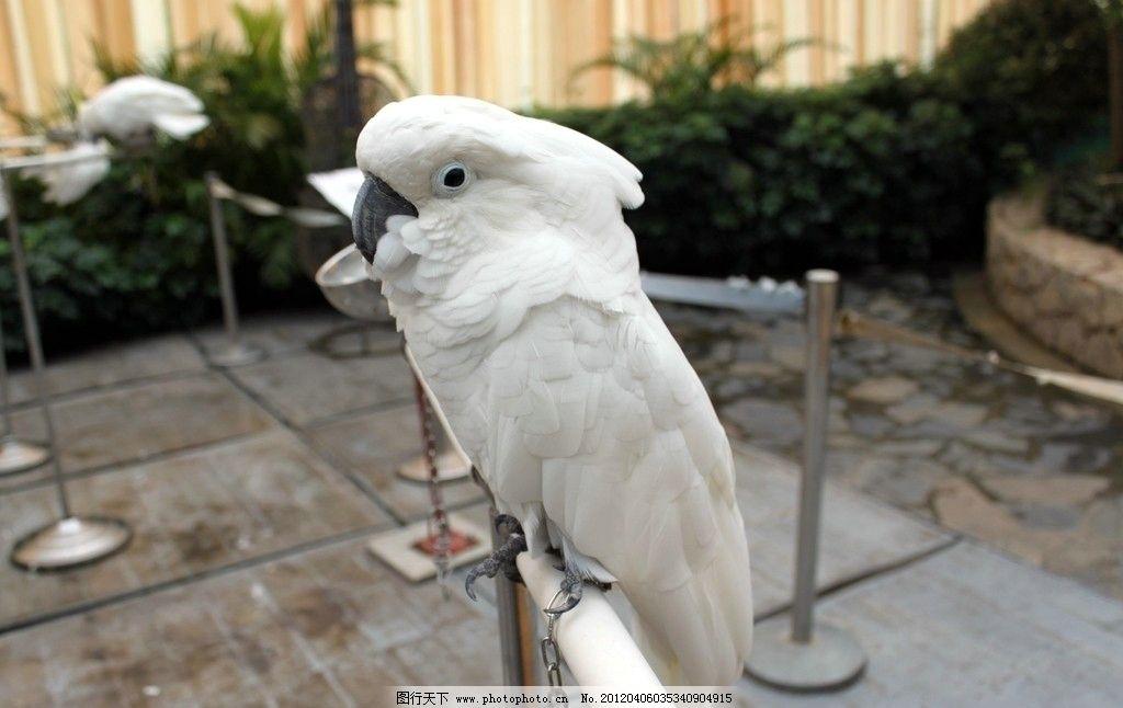 鹦鹉 茶溪谷 虎皮鹦鹉 鹦嘴 羽毛 白色羽毛 鹰眼 凤头 铁树 黑嘴 鹰爪