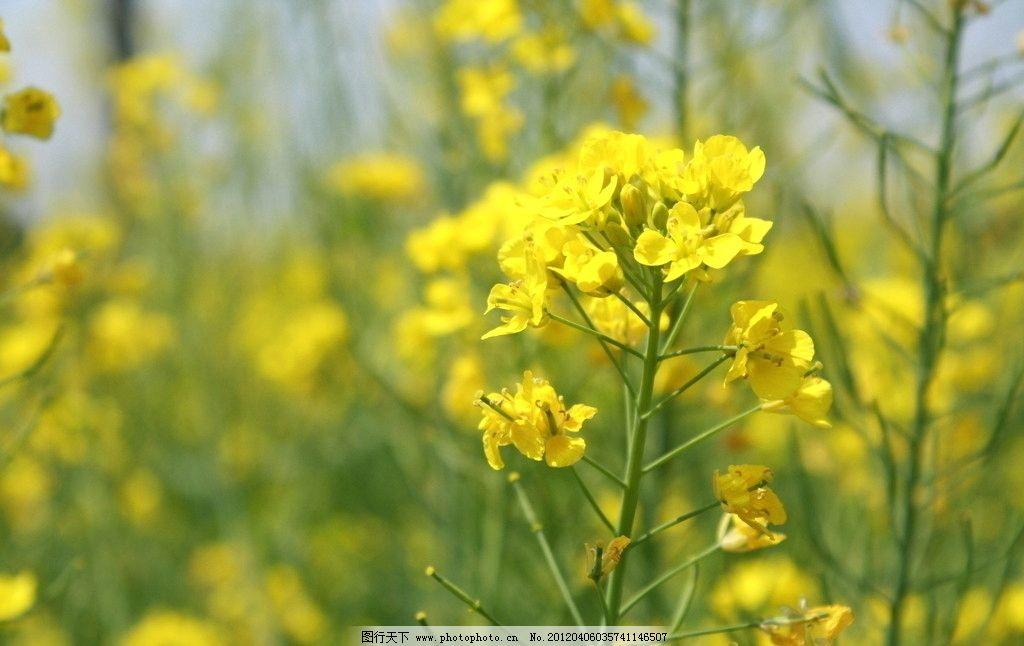 油菜花 菜花 黄色 春天 地里 阳光 花草 生物世界 摄影 72dpi jpg