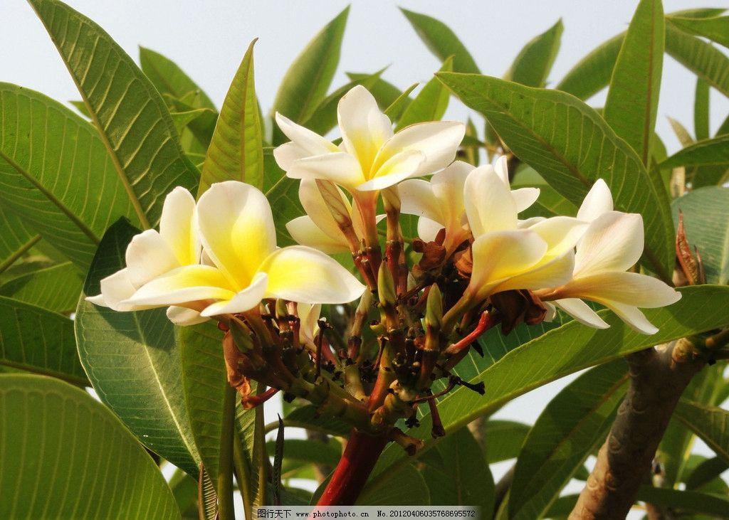 常见的家养花种类_绿叶开白花是什么花-绿叶白花图片大全_绿杆白花是什么花?_常见 ...