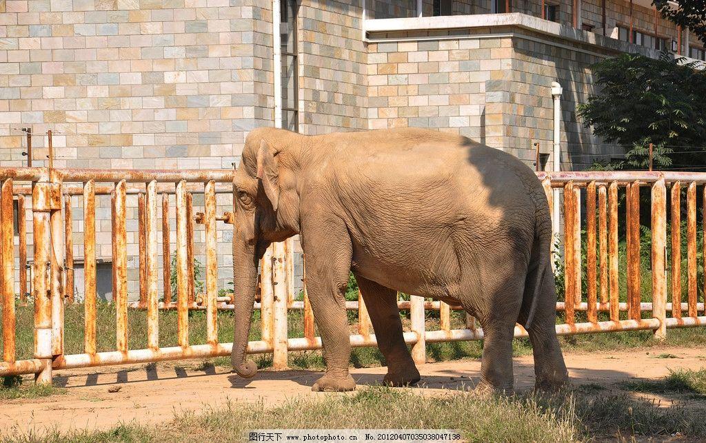 大象 野生动物 铁栏杆 房子 草地 石家庄动物园 生物世界 动物世界