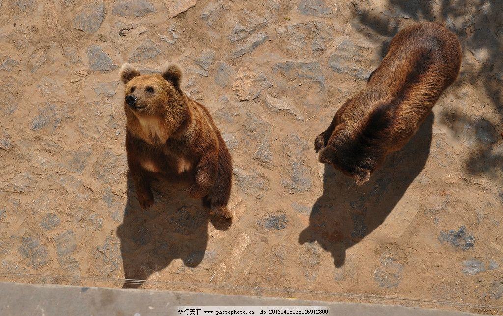棕熊 狗熊 野兽 脯乳动物 保护动物 野生动物 动物 石家庄 动物园
