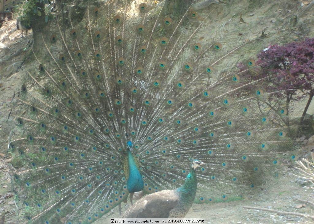 孔雀开屏 福州 动物园 孔雀 鸟类 生物世界 摄影 72dpi jpg