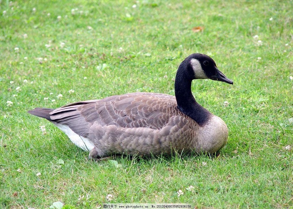 鸭子 家禽 动物 水边 岸边 草地 家禽家畜宠物 家禽家畜 生物世界