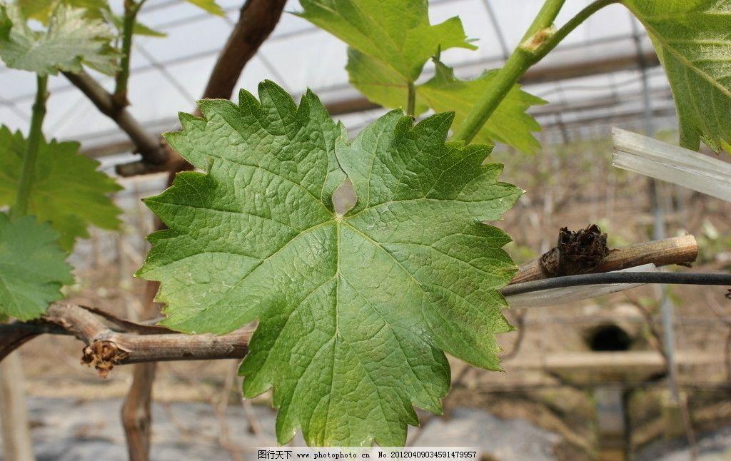 葡萄树嫩叶子图片