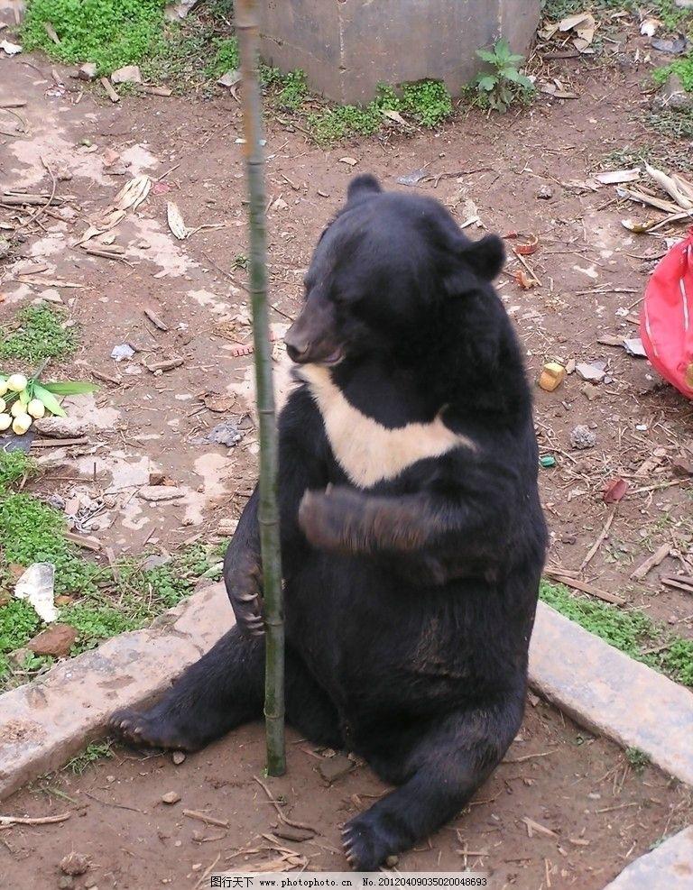 狗熊玩耍 珍稀动物 保护动物 熊描 狗熊 野生动物 生物世界 摄影 72
