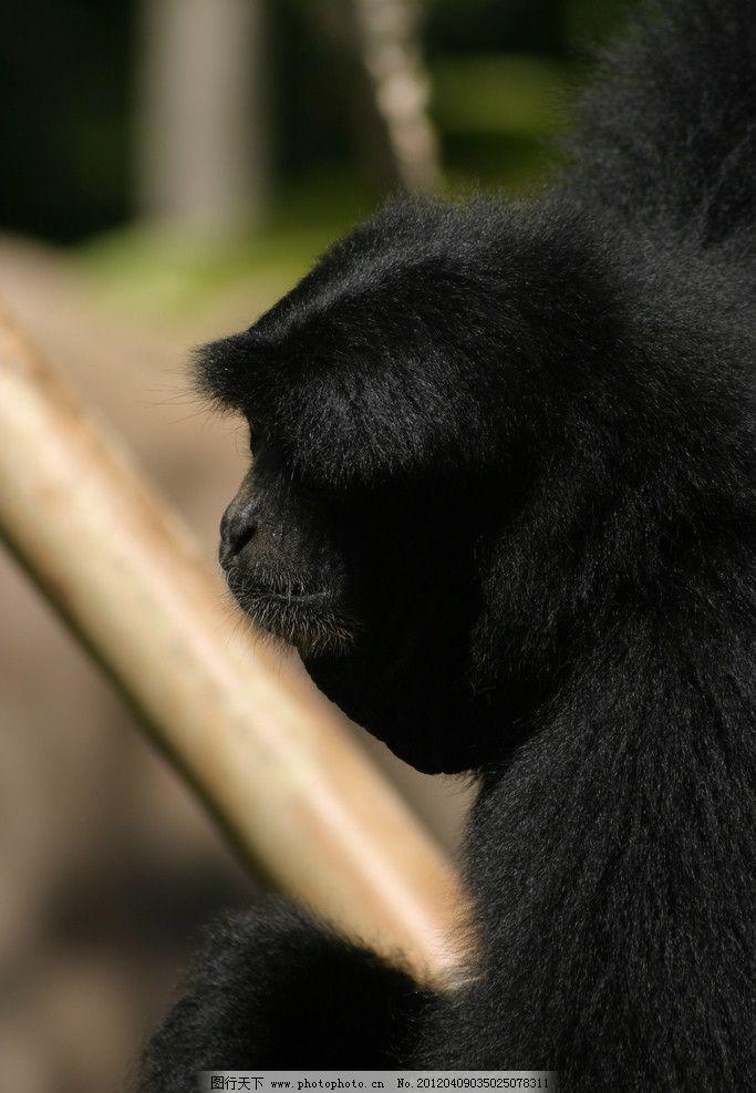 猩猩 猿 野生 珍贵 保护 动物 动物园 休息 野生动物 生物世界 摄影