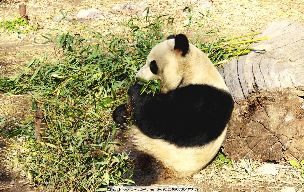 熊猫 吃竹子 圆木 翠竹 北京动物园 野生动物 生物世界 摄影 72dpi jp