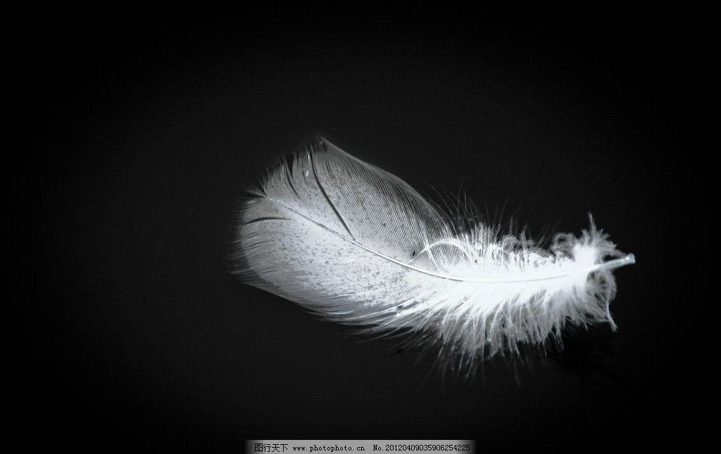 白羽毛 羽毛 白色羽毛 黑背景 动物世界 家禽家畜 生物世界 摄影 240
