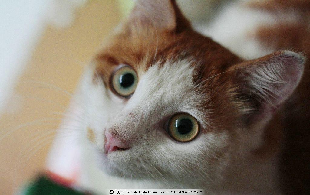 宠物猫 小猫 宠物 家养 猫星人 可爱 卖萌 表情 家禽家畜 生物世界 摄