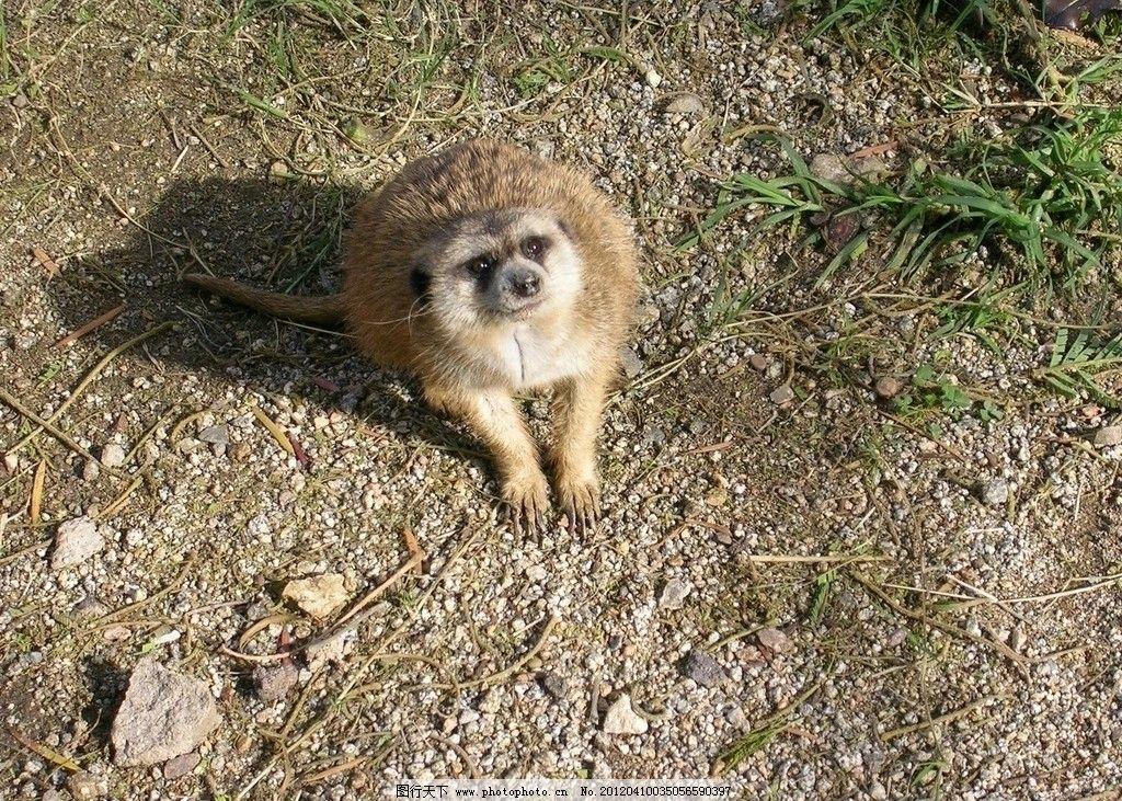 猫鼬狐獴 猫鼬 狐獴 野生 珍贵 保护 动物 可爱 野外 自然 野生动物
