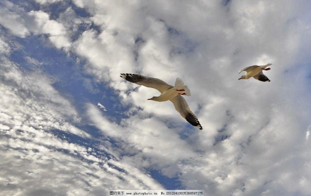 海鸥 蓝天 白云 飞翔 白色海鸥 自然风光 飞鸟 浮云 动物世界 鸟类