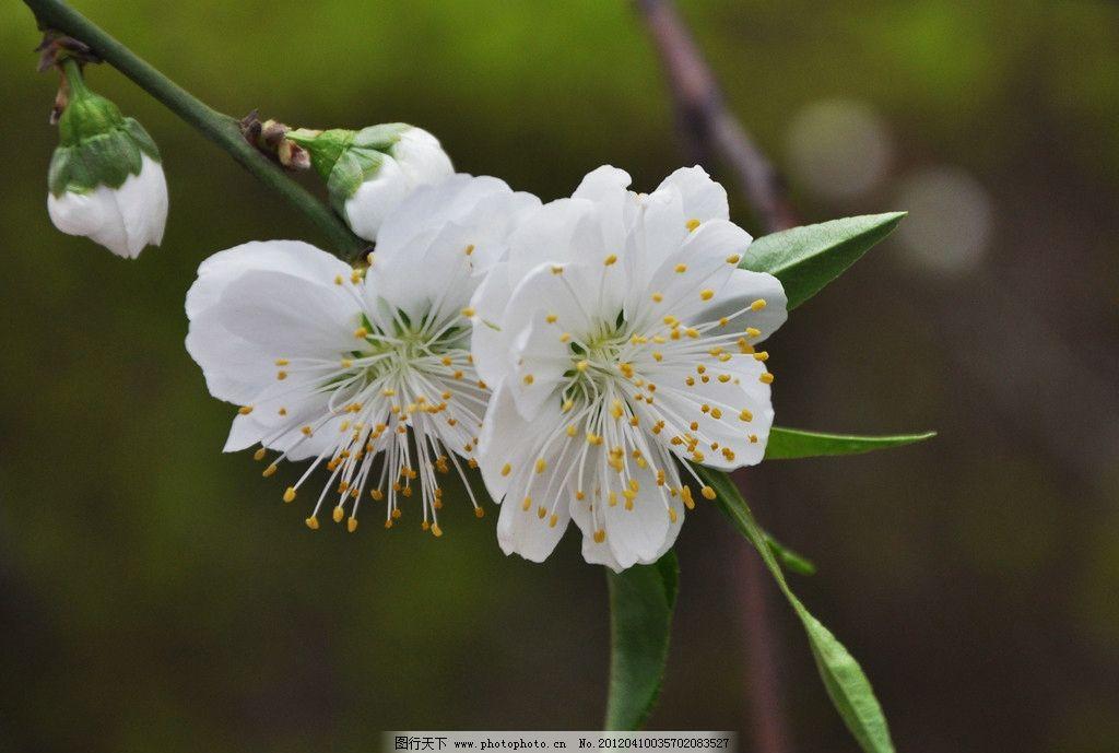 白桃花开图片