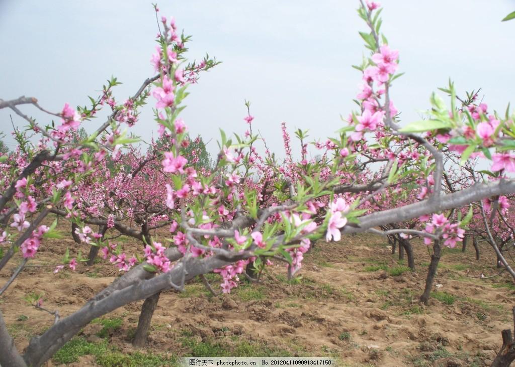 桃花田风景 桃花树 桃树地 满园桃花 粉色桃花 田园风光 自然景观