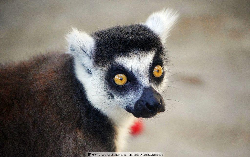 狐猴 猴子 小猴 动物 回望 野生动物 生物世界 摄影 300dpi jpg