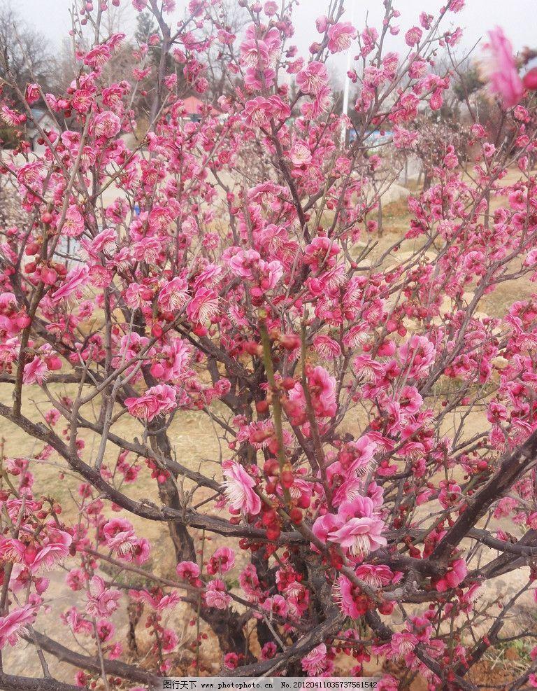 梅花 梅树 粉红花 针状 花芯 花草 生物世界 摄影 72dpi jpg