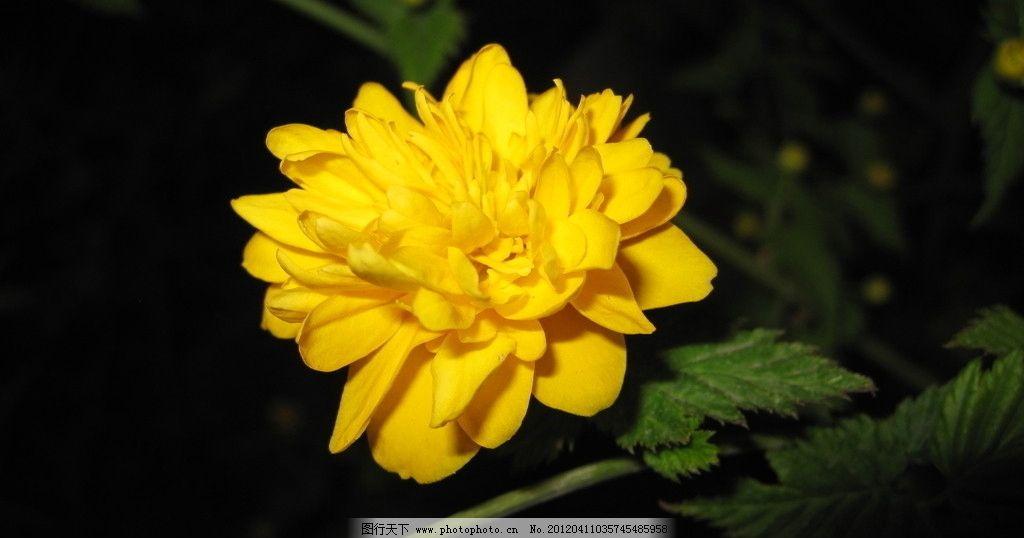 黄花一朵 鲜花 花朵 素材 夜景 微距 摄影 百花争艳 花草 生物世界