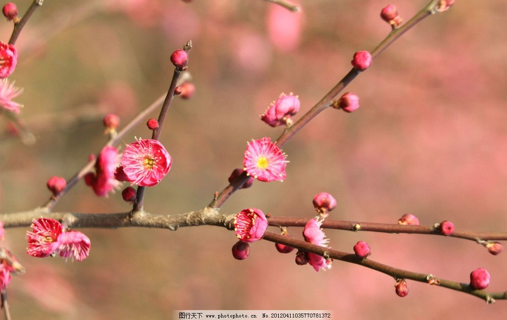 梅花 鲜花 红色 树枝 花草 生物世界 摄影 72dpi jpg