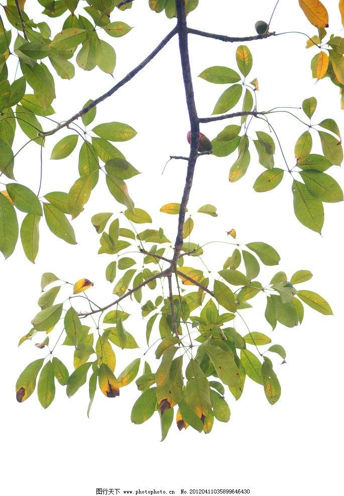 植物 花朵 灿烂 绚丽 绚烂 绿叶 木棉树 树叶 树木树叶 生物世界 摄影
