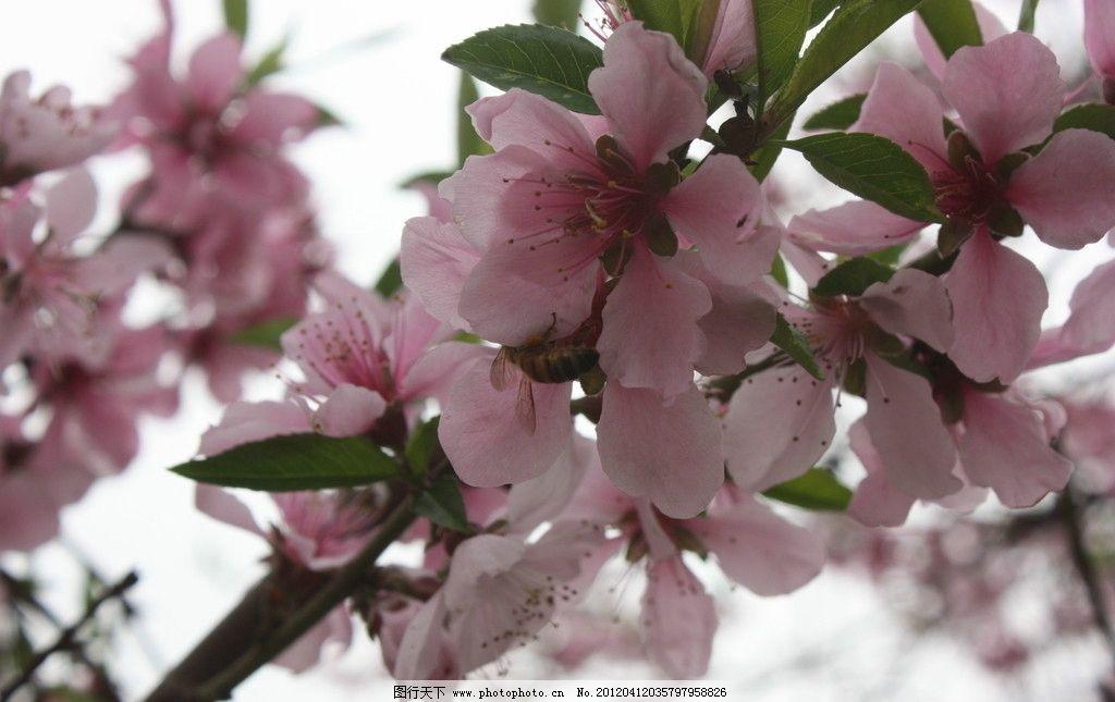 三月桃花图片
