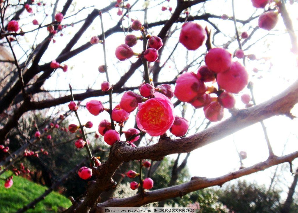 红梅花 红梅 树枝 花卉 梅花 花草 生物世界 摄影 300dpi jpg