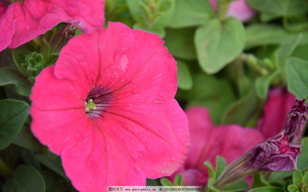矮牵牛 花卉 碧冬茄 番薯花 花单生 花冠漏斗状 单瓣 一朵 粉红