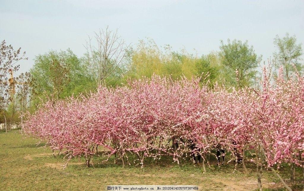 樱花 桃花 樱花树林 桃花树林 花草 生物世界 摄影 300dpi jpg