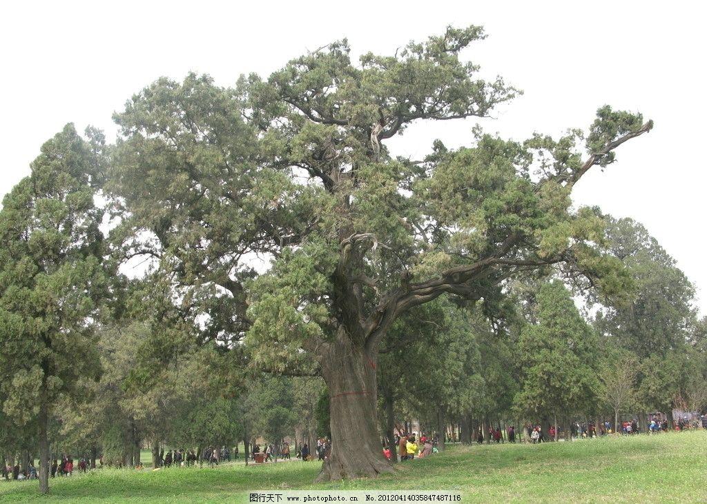 古树大树柏树图片