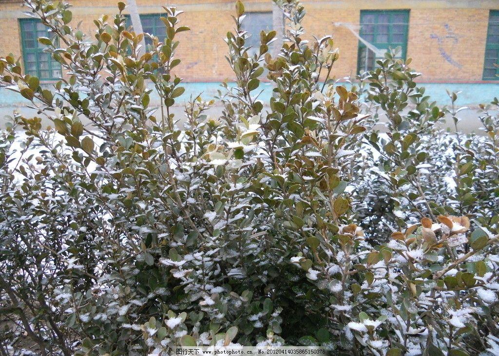 春天冬雪 春天 雪景 摄影 灌木丛 绿化 树木树叶 生物世界 300dpi jpg
