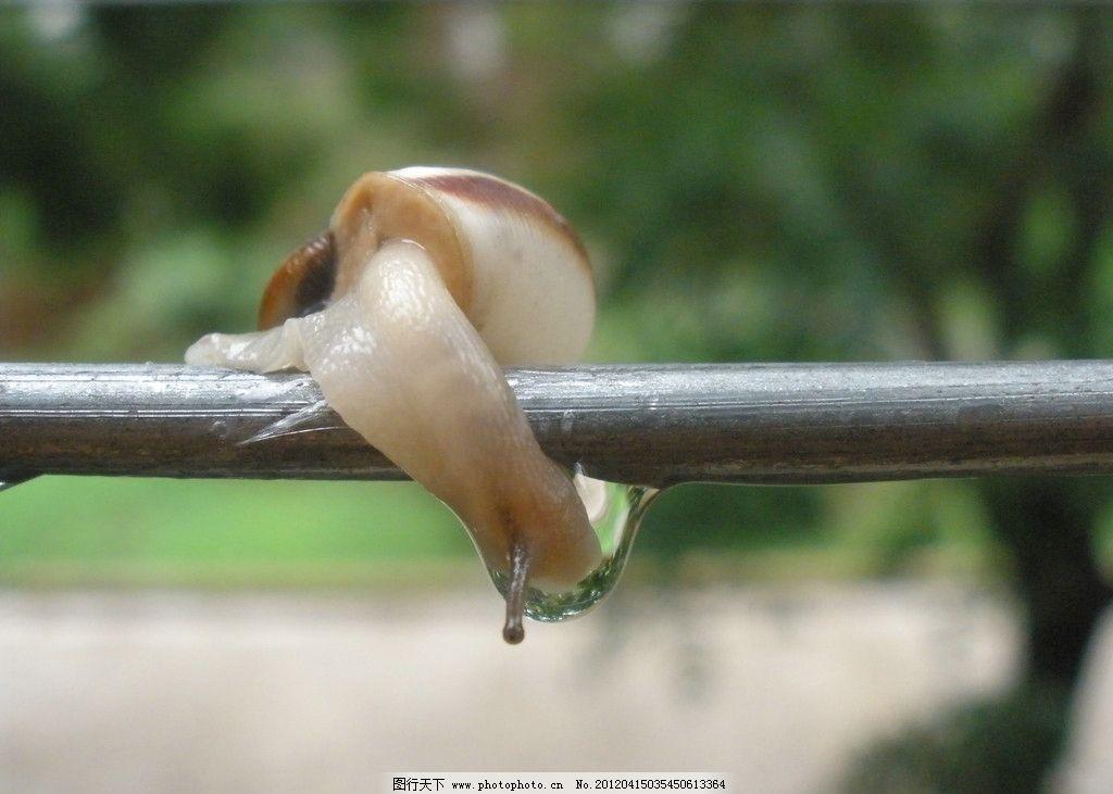 蜗牛 奋斗 爬行 努力 艰难 不放弃 清晨 露水 昆虫 生物世界 摄影 72