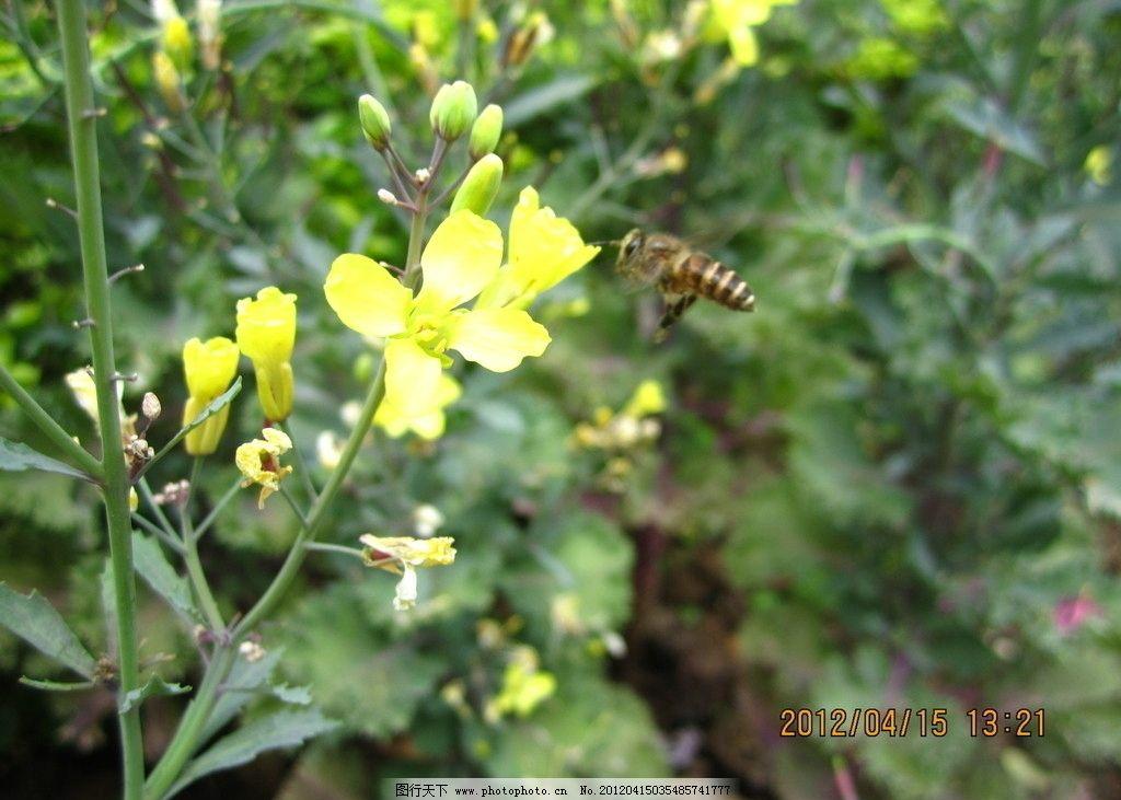 小蜜蜂 菜花 摄影图 植物 动物