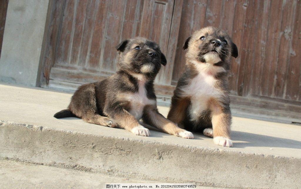 小狗图片 小狗 宠物狗 宠物 狗狗 小动物 可爱的动物 家禽家畜 生物