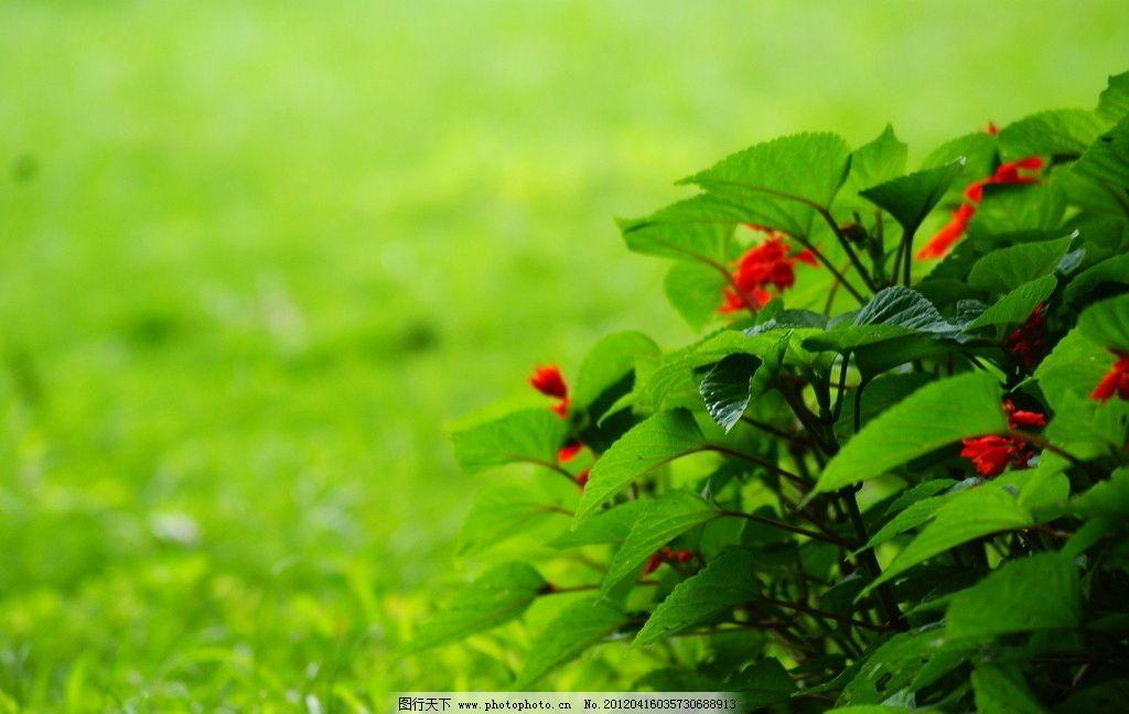 一串红 爆仗红 风景区 园林 红花 红花配绿叶 植物 摄影
