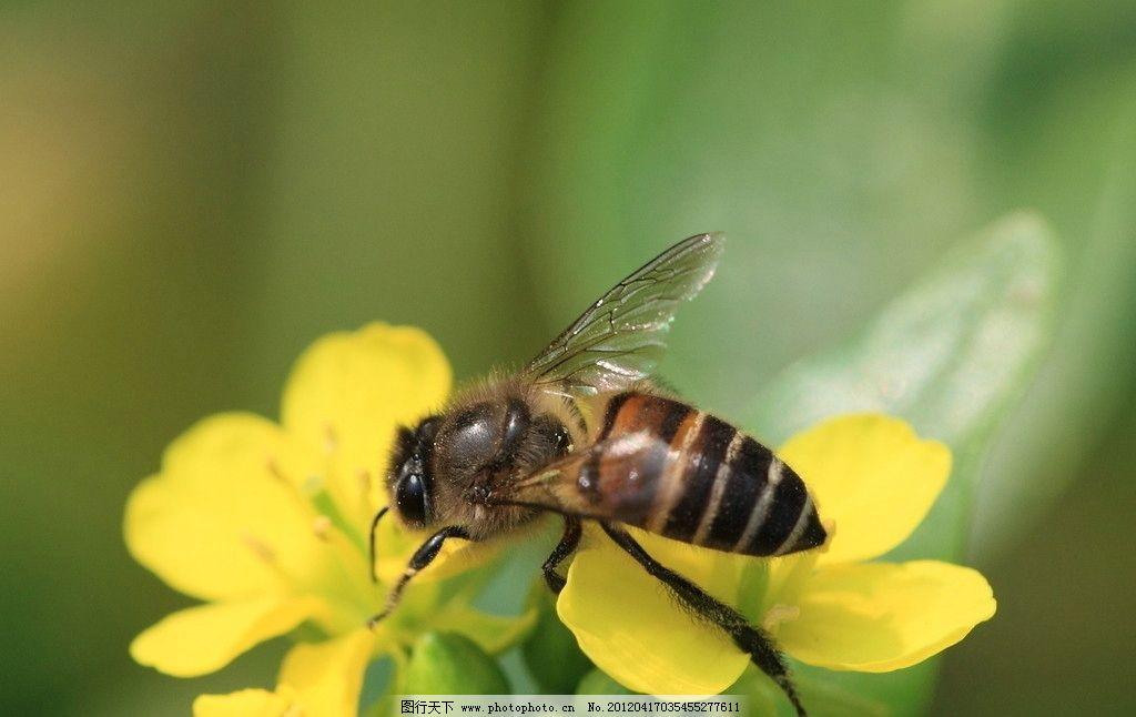蜜蜂 蝴蝶 昆虫 生态 自然 动物 生物世界 摄影 350dpi jpg