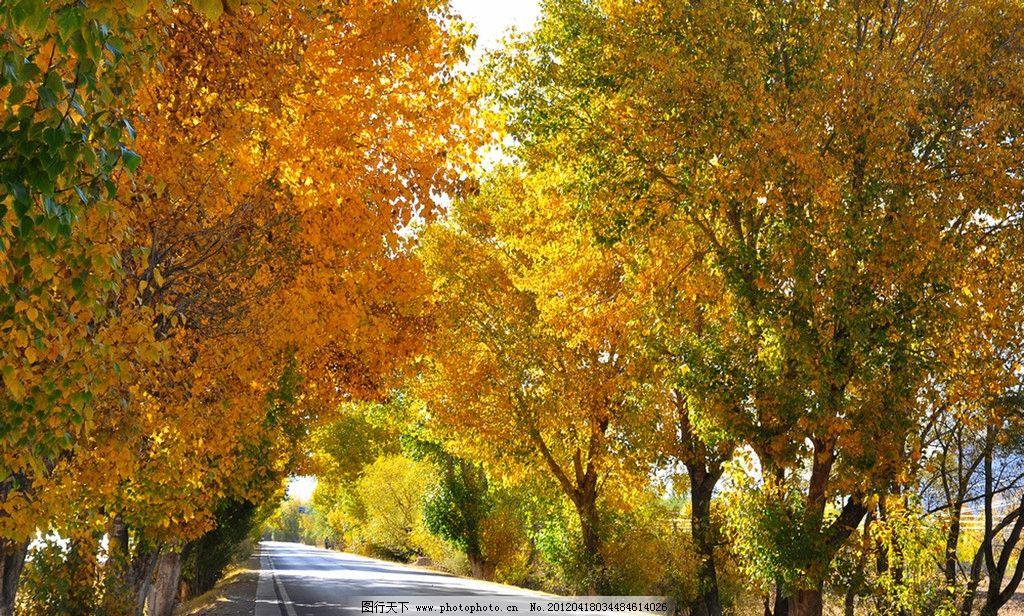 高速(非高清)图片,树木 公路 杨树 黄色树林 枫树-图