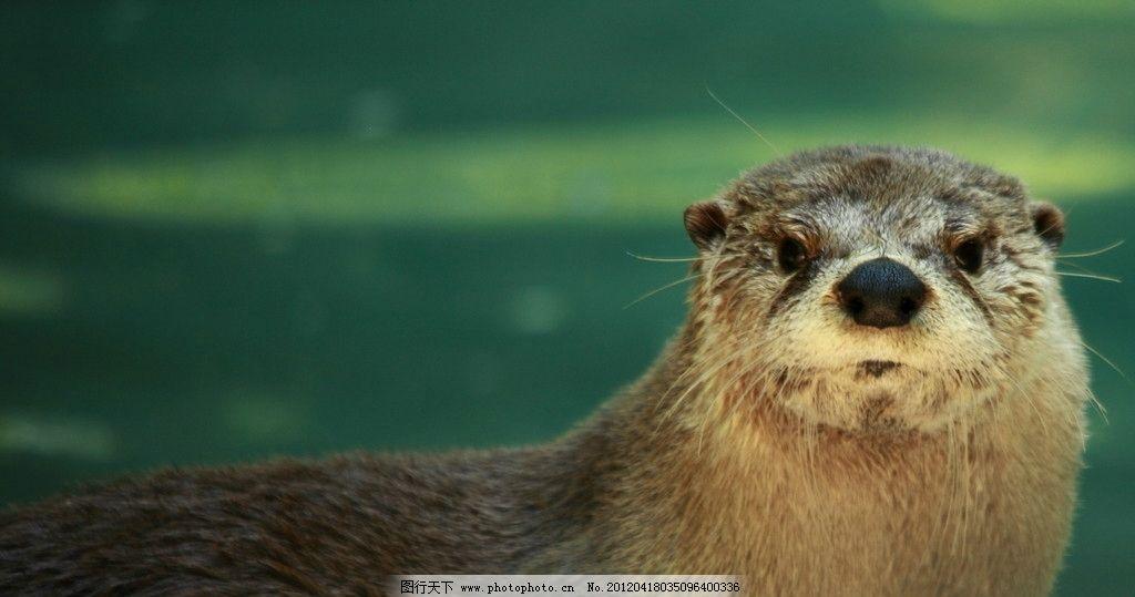 水獭 野生动物 生物世界 摄影 350dpi jpg