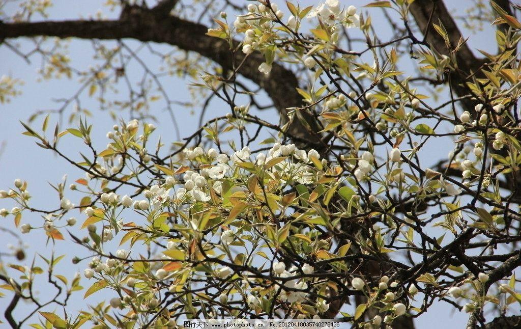梨花 梨树 春天 蓝天 树枝 花瓣 摄影 花草 生物世界 72dpi jpg