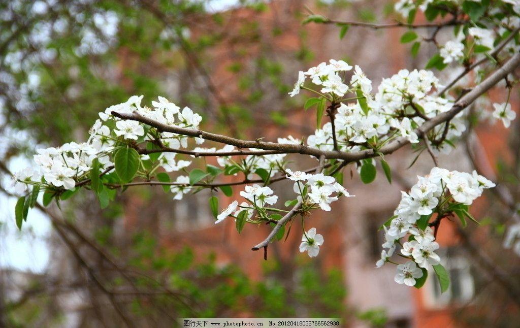 苹果花 白色花 花朵 苹果树 树枝 花枝 花草 生物世界 摄影 72dpi jpg
