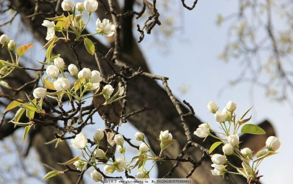 梨树 春天 蓝天 树枝