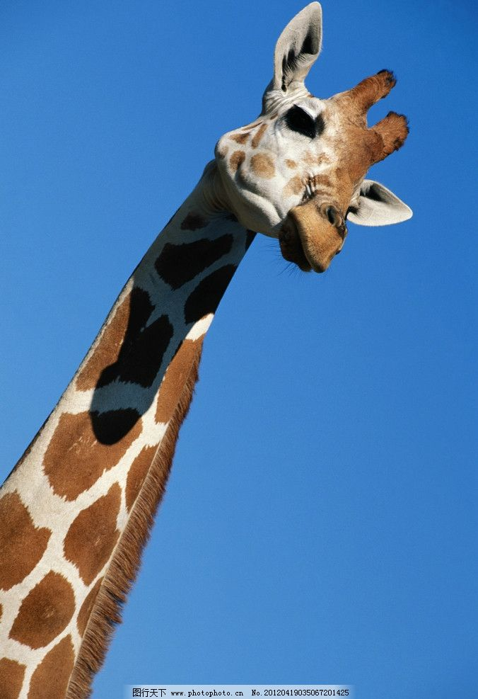 长颈鹿 非洲 斑点 蓝天 荒漠 草原 高清 摄影 动物 可爱 特写